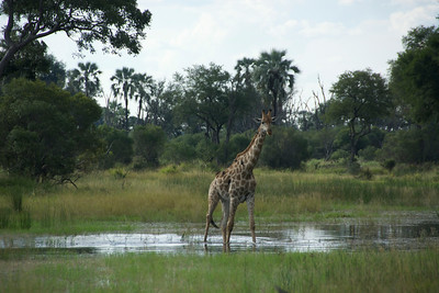 4 giraffes need to cross the shallow water...