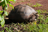 another, not as giant, Giant Tortoise.