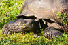 "Giant Tortoise in the ""wild"" (free roaming in the highlands of Santa Cruz Island)"