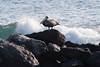 Brown Pelican. Mosquera Island.