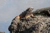 Marine Iguana.  Santiago Island.