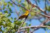 Yellow Warbler (which might be more properly named a Mangrove Warbler)