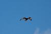 Galapagos Hawk.  Morning of Day 7.