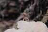 Lava lizard (Santa Fe Island style)