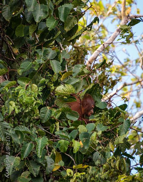 APES - orangutan baby-0551