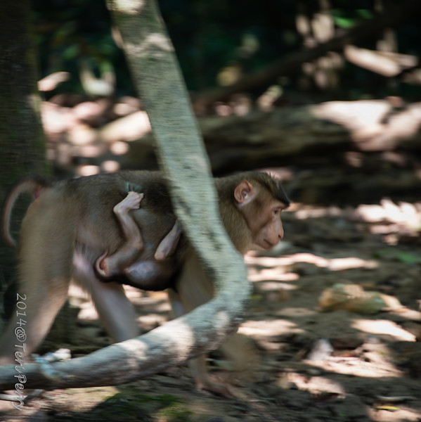 MONKEYS - pig tailed macaque-9886