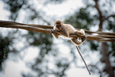 MONKEYS - long tailed macaque crossing river-0155