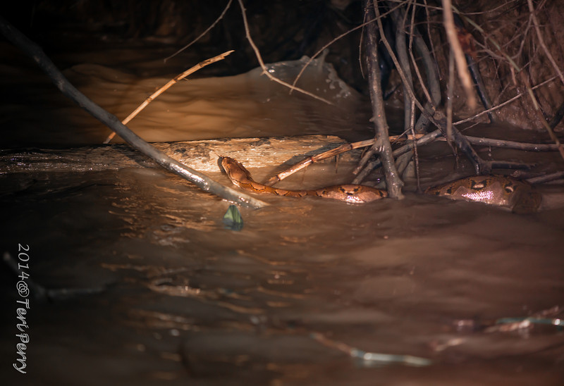 One of the most interesting things to see was the python crossing the river probably 3 meters + Looking for dinner??