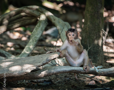 MONKEYS - pig tailed macaque-9910