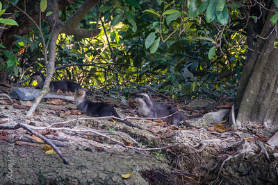 One of most interesting day sightings. River otters....but as soon as we saw them 3 local fisherman coming through forest made them disappear...