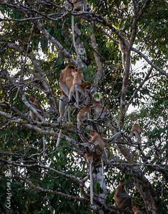 MONKEYS - Proboscis mating-9750