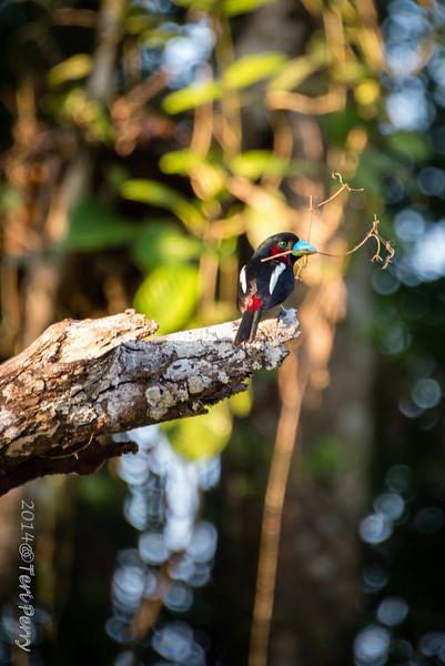 BIRDS - black and red broadbill-0645