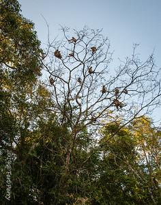 MONKEYS - Proboscis-9775  How many monkeys sitting in a tree???
