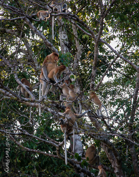 MONKEYS - Proboscis mating-9748