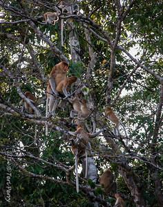 MONKEYS - Proboscis mating-9748