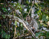 MONKEYS _ long tail macaque-9712