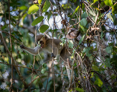 MONKEYS _ long tail macaque-9715