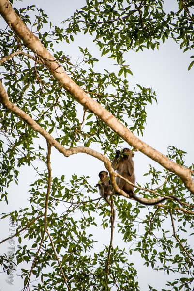 MONKEYS - long tailed macaque-0169