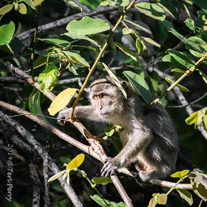MONKEYS _ long tail macaque-9705