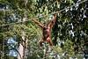 APES - orangutan Sepilok rehabilitation centre-9671