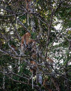 MONKEYS - Proboscis mating-9747