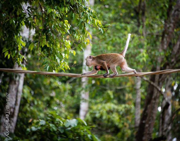 MONKEYS - long tailed macaque crossing river-0138