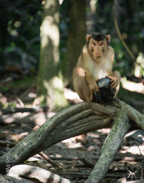 MONKEYS - pig tailed macaque-9881