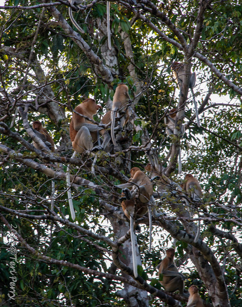 MONKEYS - Proboscis mating-9751