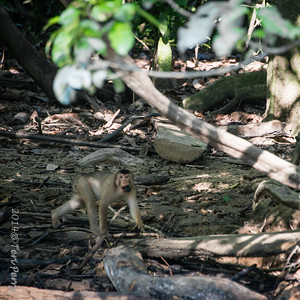MONKEYS - pig tailed macaque-9858