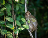 MONKEYS _ long tail macaque-9709