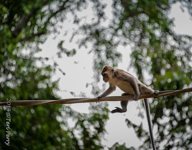 MONKEYS - long tailed macaque crossing river-0143