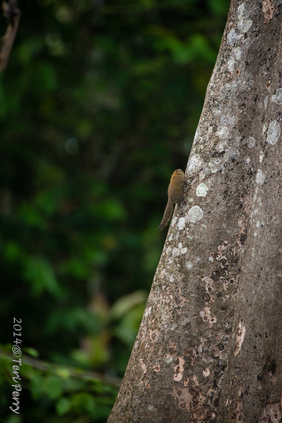 SQUIRREL - pygmy-0327