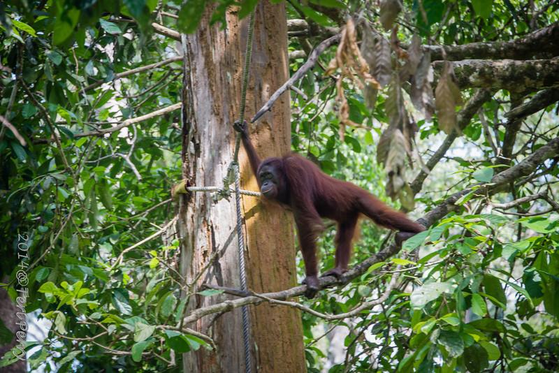 APES - orangutan Sepilok rehabilitation centre-9675