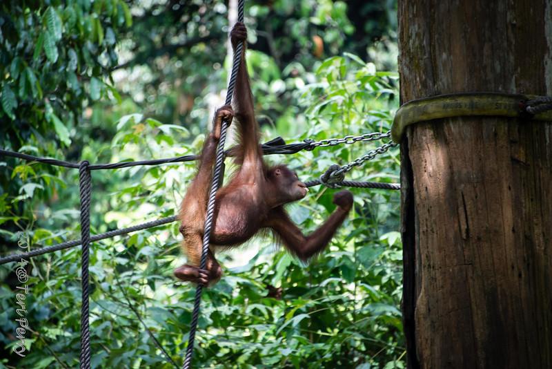 APES - orangutan Sepilok rehabilitation centre-9681