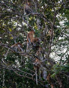 MONKEYS - Proboscis mating-9746  Whole family eating and playing...Dad gets frisky and the younger ones get interested....look like they are observing and asking questions....til...one boy jumps up and squeezes Dad's nose....Guess he got out of the mood then!