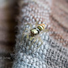 A tiny golden jumping spider.