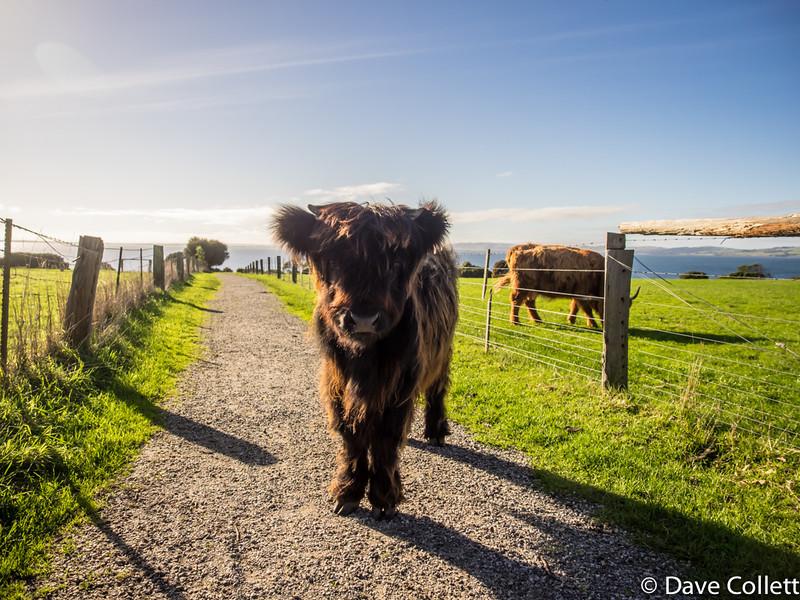 Highland Calf!