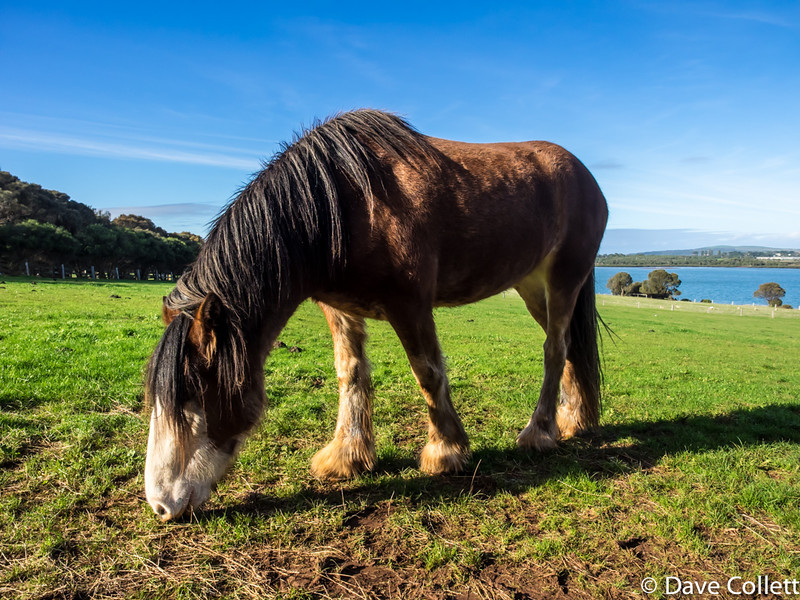 Clydesdale on Churchill Island