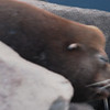 Morro Bay seal closeup