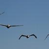 Estero Bay 17 brown pelicans