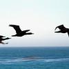 Estero Bay 20 brown pelicans