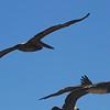 Estero Bay 19 brown pelicans