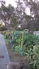 Agave Californius, near the Clark Bird Reserve