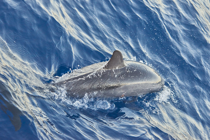 On a catamaran on the return from the Na Pali coast - Kauai<br /> <br /> Dolphin seen from the catamaran.