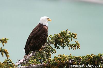 Alaska Bald Eagle. Ready.......