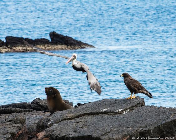 Sea Lion, pelican and Galápagos hawk