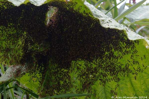 Bees congregating under an Elephant Ear-like plant