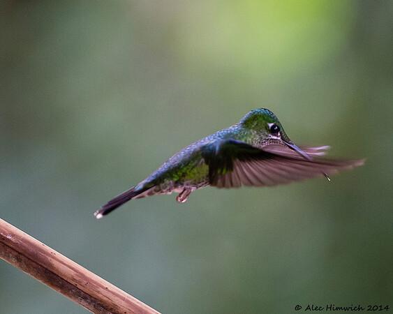 Green Brilliant Hummingbird in flight!