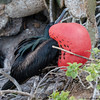 Male Magnificent Frigate Bird