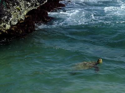green sea turtle in Poipu